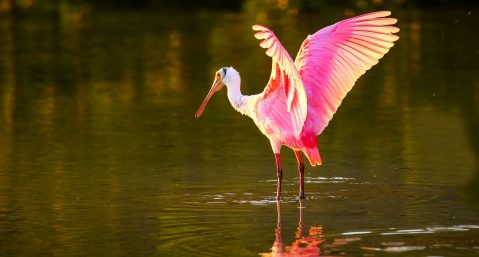 Roseate Spoonbill spreading wings over the water in Florida